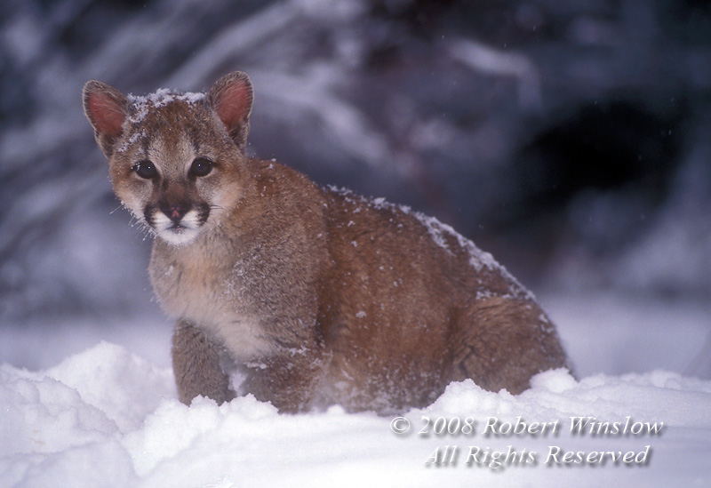 Snow Mountain Lion Wallpaper Zoom